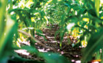 Cover Crop Main