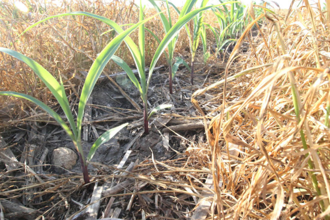 Population Adjustments Play Into Seeding Strategies for Strip-Tillers