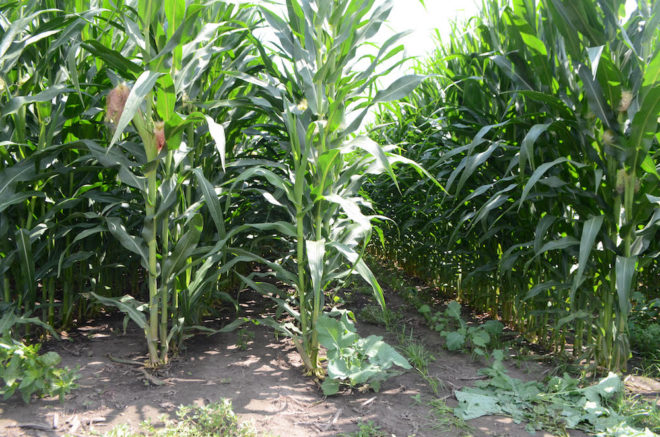[Video] 60-Inch Corn: Fact or Fiction?