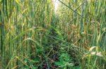 Loran S cover crops