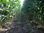 Cautions & Considerations for Experimenting with 60-Inch Row Corn