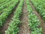 FMC Authority Edge treated soybeans