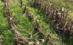 ryegrass growing in corn stubble