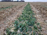 forage cover crops