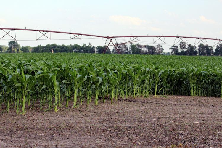 Rock River Lab irrigated corn