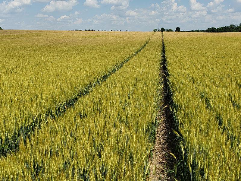 winter wheat rotation